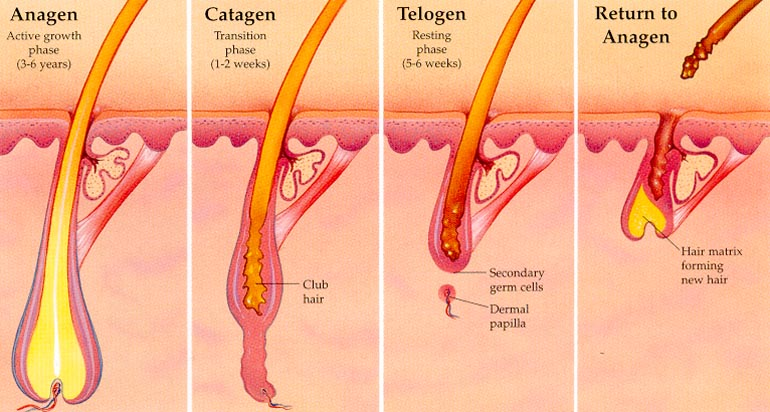 There are three main hair growth phases, Anagen, Catagen and Telogen
